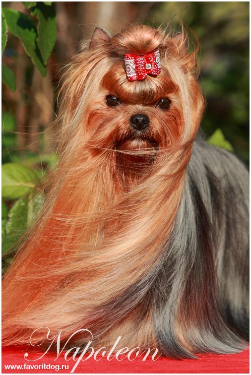 Йоркширский терьер - это самая популярная миниатюрная собака во всем мире